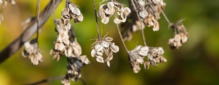 flohsamenschalen pflanze