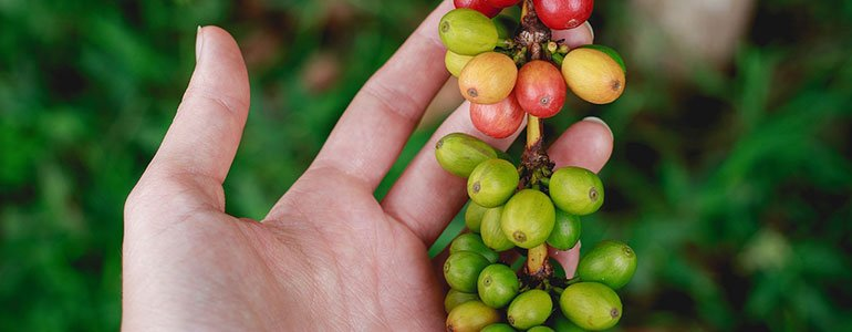 gruener kaffee wirkung