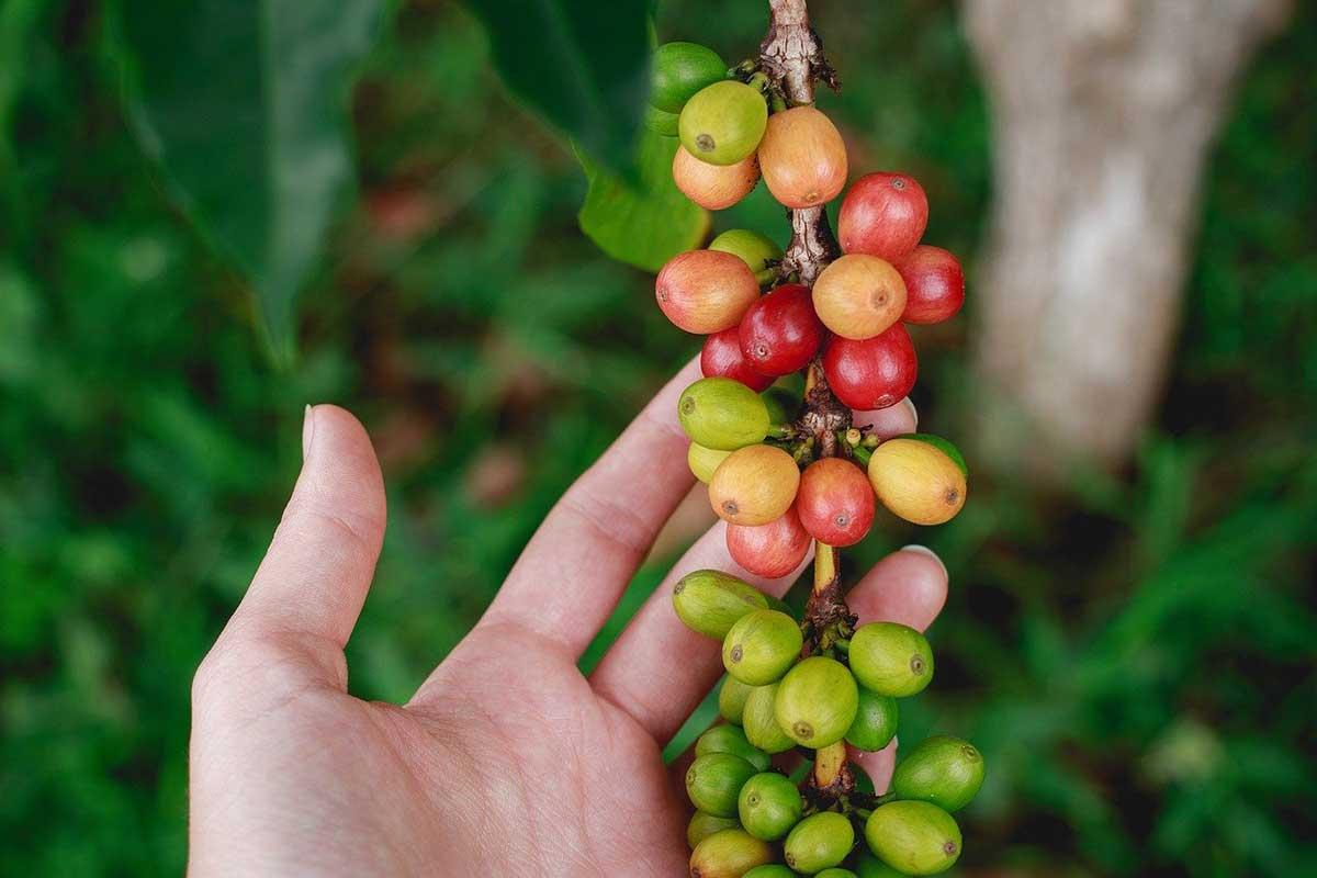 gruener kaffee
